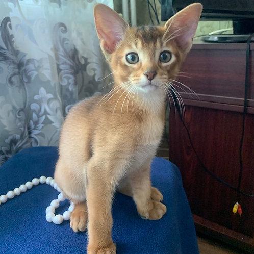 133 Berta purebred Abyssinian female kitten