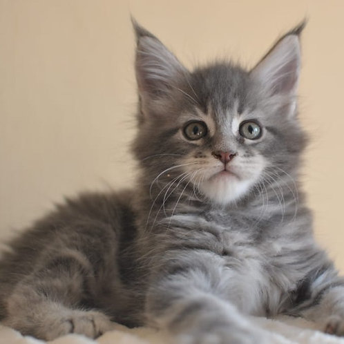 669 Lord  Maine Coon male kitten