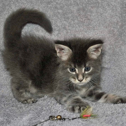 455 Tiguan  Maine Coon male kitten