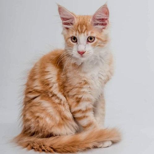 574 Jack  Maine Coon male kitten
