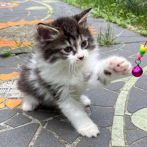 637 Fantasy  Kurilian Bobtail female kitten
