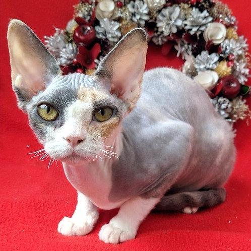 364 Ul'yana female kitten Devon Rex