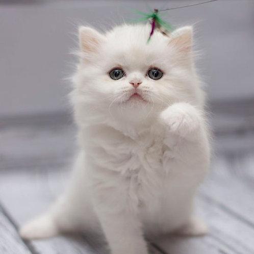 525 Prince  Scottish straight longhair male kitten