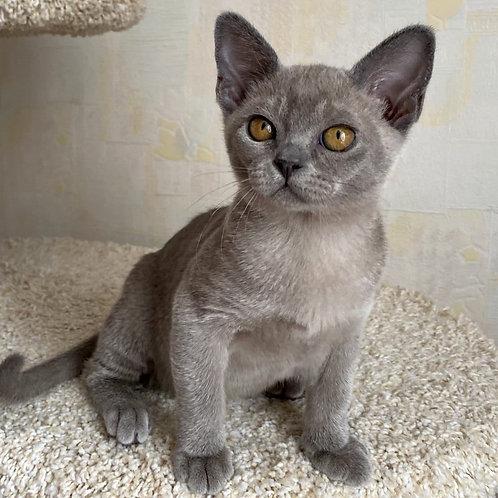 47 Milena   Burmese  female kitten