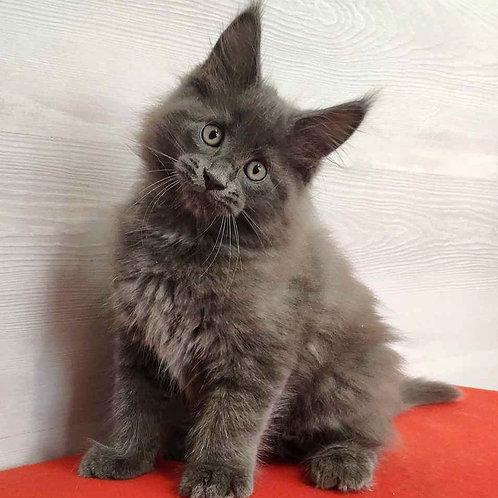 536 Leo Maine Coon male kitten