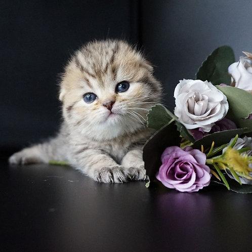 Bonny Scottish fold shorthair female kitten