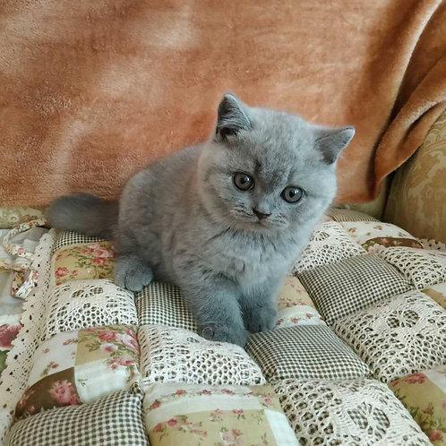 345 Topson British shorthair male kitten