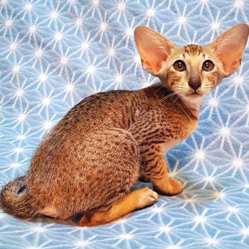 428 Svityaz Oriental male kitten