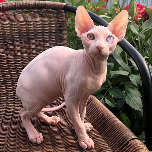 591 Lyi  male Sphynx   kitten