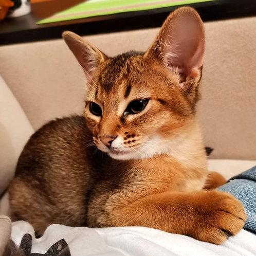 202 Neona   purebred Abyssinian female kitten