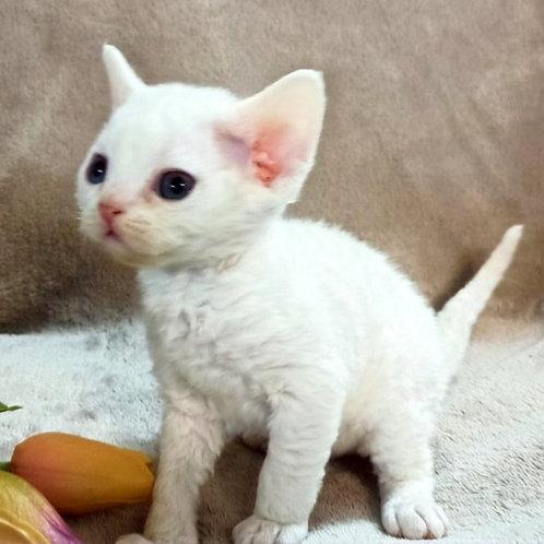 526 Diana female kitten Devon Rex