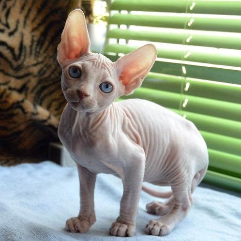 635 Katy  female Sphynx   kitten