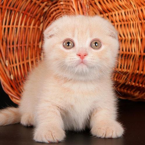 807 Rozitta      Munchkin shorthair female kitten