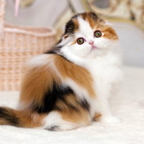 598 Adele   Scottish fold longhair female kitten
