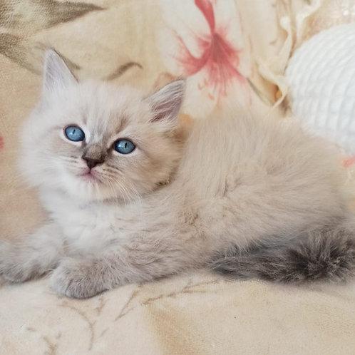 Landysh Siberian male kitten