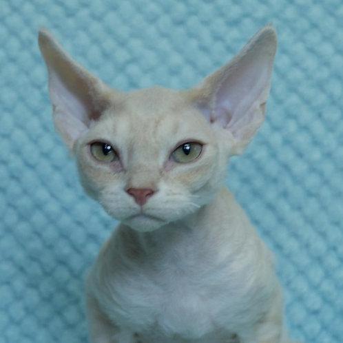 736 Baileys  male kitten Devon Rex