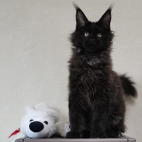 544 Z*Kitto    Maine Coon male kitten