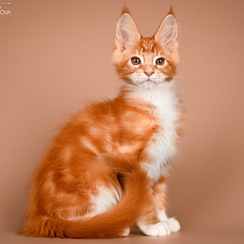 485 Wolter    Maine Coon male kitten