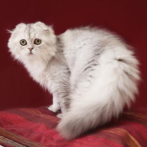 449 Cesar    Scottish fold longhair male kitten