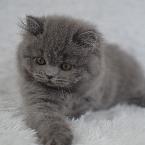 873 Jimmy  British longhair male kitten