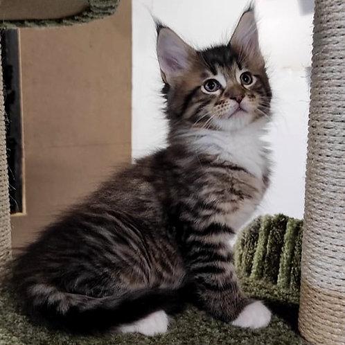 873 Quest Maine Coon male kitten