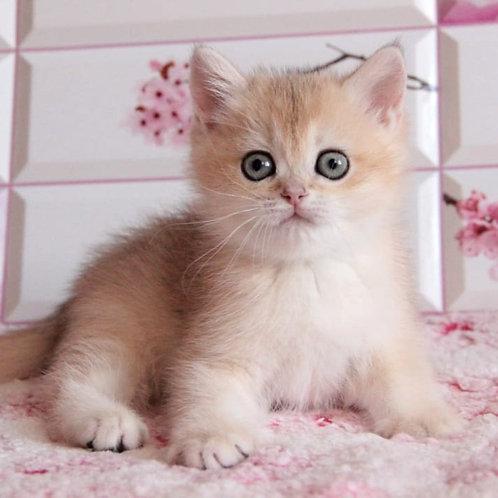170 Vanilla  British shorthair female kitten