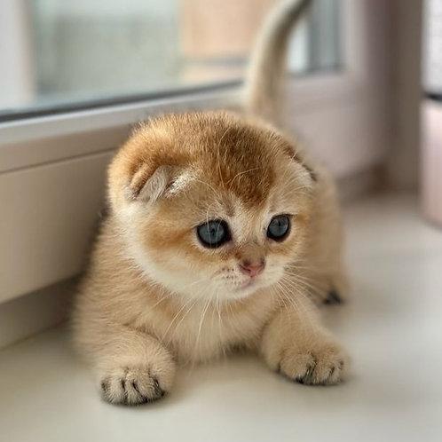 1045 Ada Scottish fold shorthair female kitten