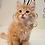 Thumbnail: 190 Batyr     Siberian male kitten