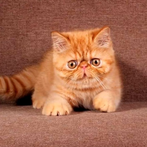 269 Felix  Exotic  male kitten