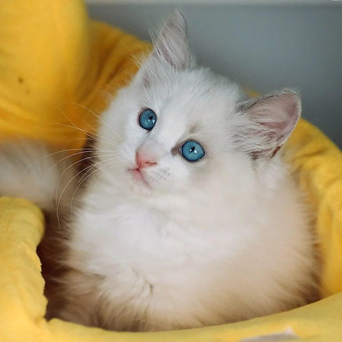 308 Gala   Ragdoll female kitten