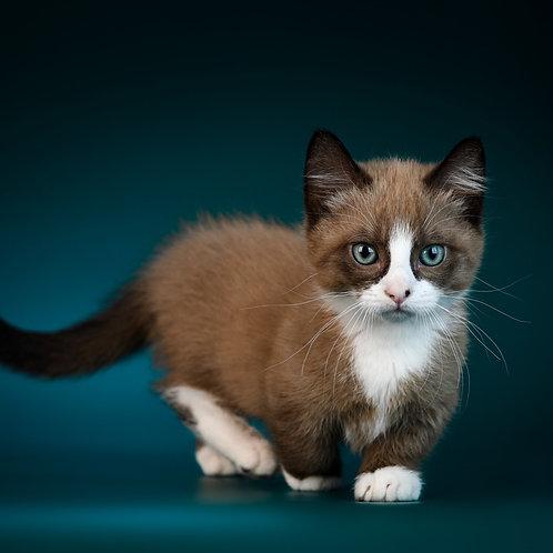 409 Kumir  Munchkin male kitten