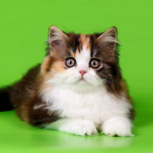 1022 Yanina  Scottish straight longhair female kitten