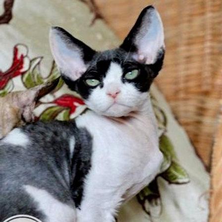 345 Mickey Mouse   male kitten Devon Rex