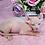Thumbnail: 290 Leonid   male Elf  kitten