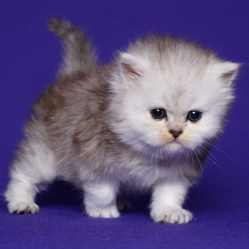 122 Cristopher Persian male kitten