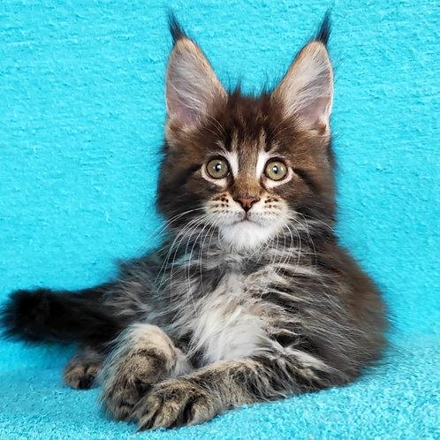 517 Nicole  Maine Coon female kitten