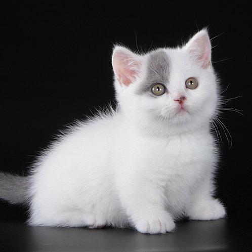 1057 Bard   Munchkin shorthair male kitten