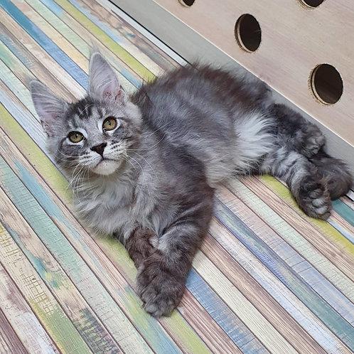 Zefir poly Maine Coon male kitten