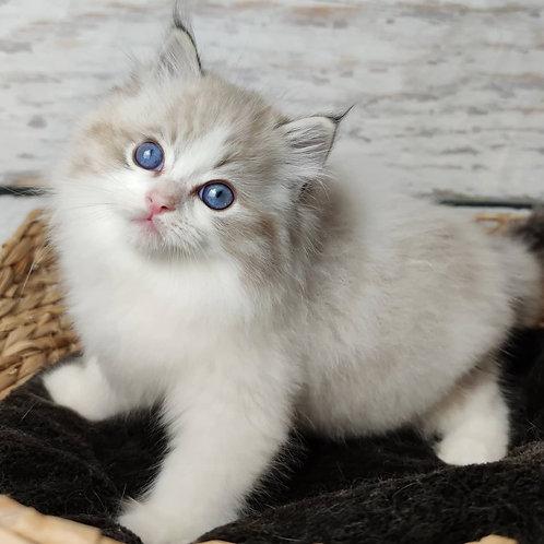 494 Samuel  Ragdoll male kitten