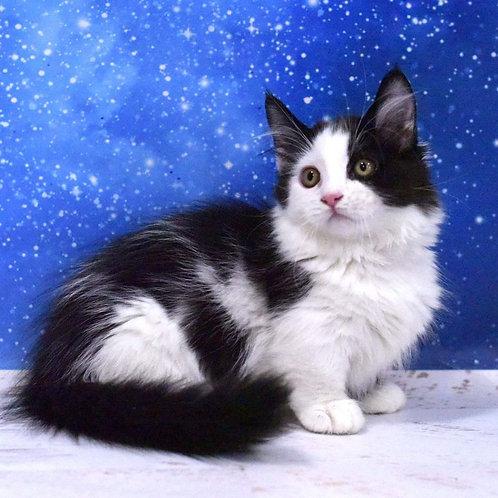 400 Helena  Munchkin longhair female kitten