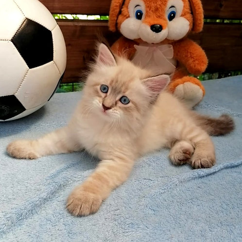 213 Palladium      Siberian male kitten