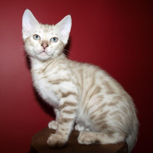 209 Gerda purebred Bengal female kitten