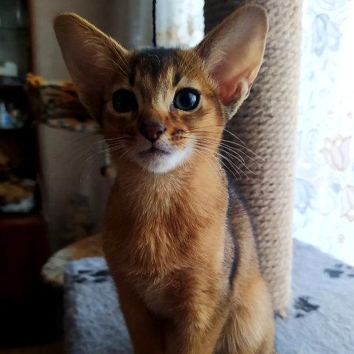 108 Beylis   purebred Abyssinian female kitten