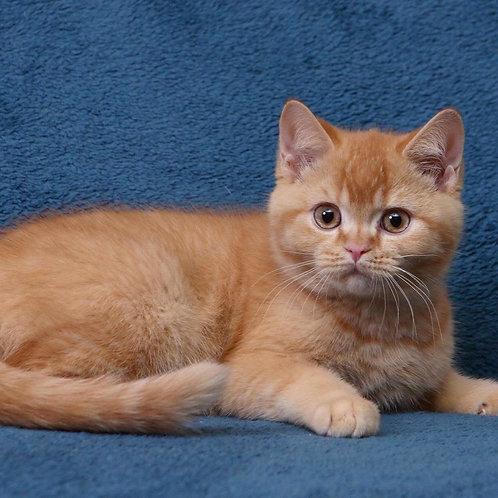 348 Xidex    British shorthair  male kitten