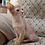 Thumbnail: 273 Kris   purebred Abyssinian male kitten