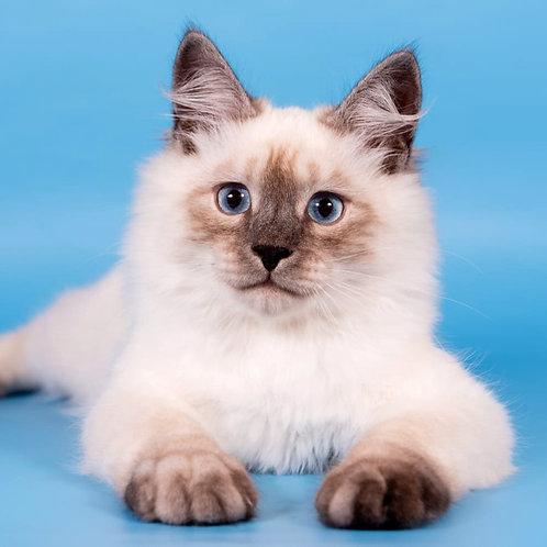320 Lubim  Siberian (Neva Masquerade) male kitten