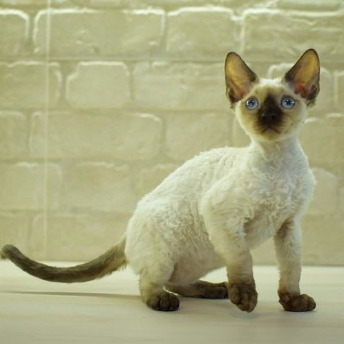 Paris male kitten Devon Rex