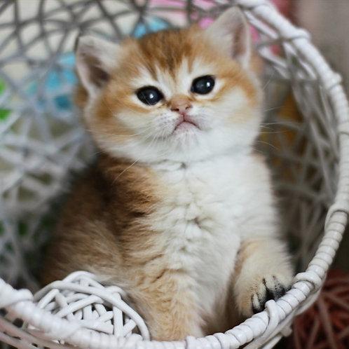 691 Olesya  British shorthair female kitten