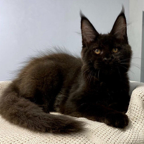 713 Oligarch  Maine Coon male kitten