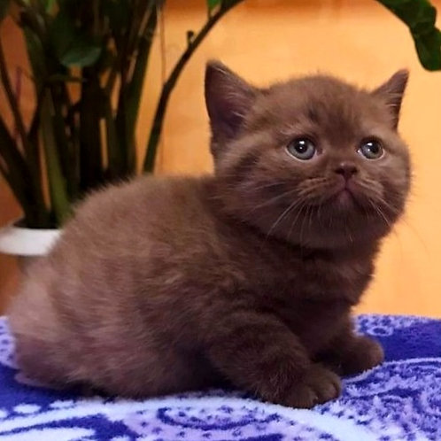 945 Bianca  British shorthair female kitten